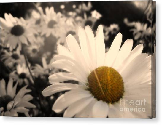 One Daisy Stands Out From The Bunch Canvas Print