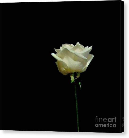 One Merangue Rose Canvas Print by Marsha Heiken