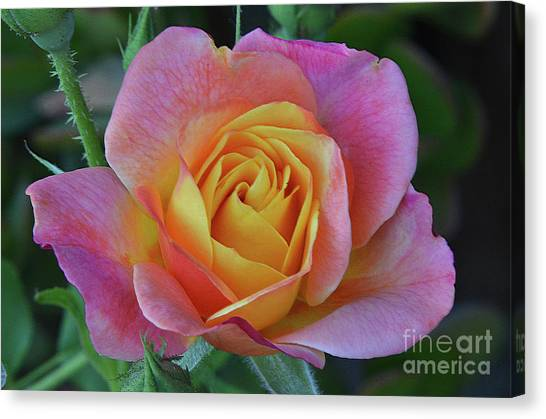 One Of Several Roses Canvas Print