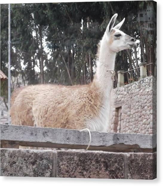 Llamas Canvas Print - Llama  by Charlotte Cooper