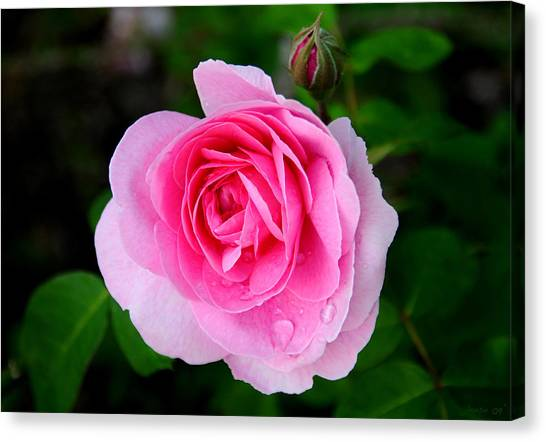 One Pink Rose And One Bud Canvas Print