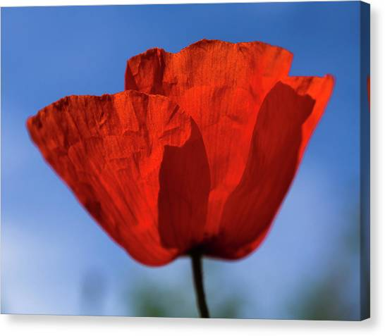 One Red Poppy Canvas Print