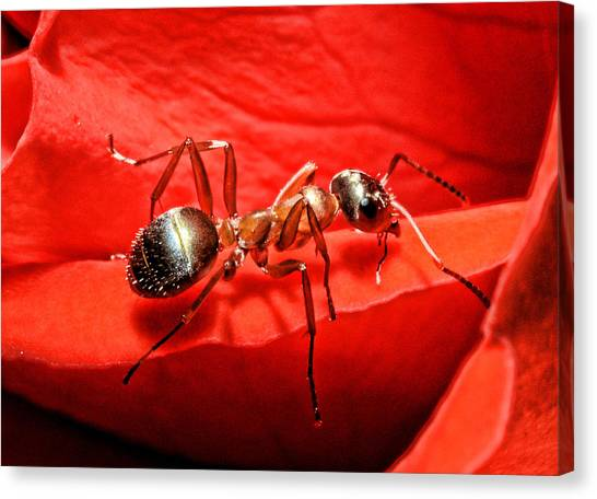 Ant Canvas Print - One Soldier by Lawrence Christopher