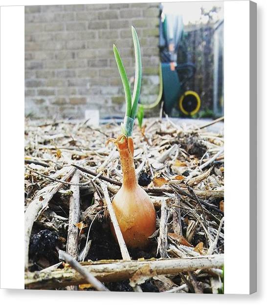 Canvas Print - #onion Between #woodchips by Vegetable Garden