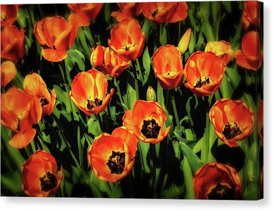 Tulip Canvas Print - Open Wide - Tulips On Display by Tom Mc Nemar