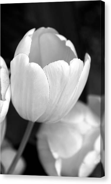 Opening Tulip Flower Black And White Canvas Print