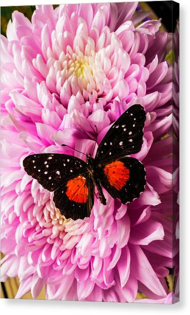 Snowball Canvas Print - Orange Black Butterfly On Pink Mum by Garry Gay