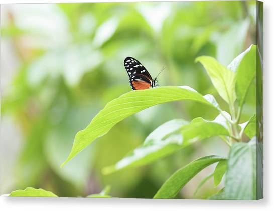 Canvas Print featuring the photograph Orange Black Butterfly by Raphael Lopez