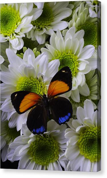 Pom-pom Canvas Print - Orange Blue Butterfly On Poms by Garry Gay