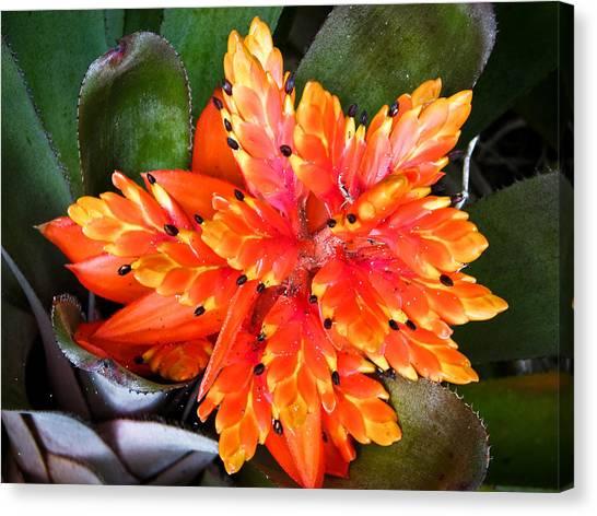 Orange Bromeliad Canvas Print by Jonathan Hansen
