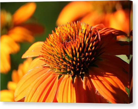 Orange Coneflower At First Light Canvas Print