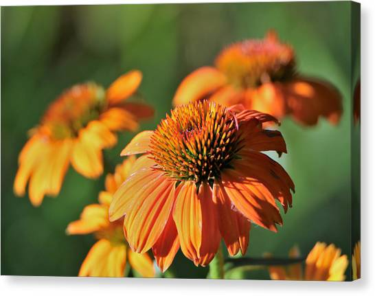 Orange Cone Flowers In Morning Light Canvas Print