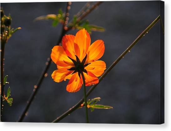 Orange Cosmo Canvas Print