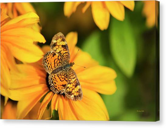 Canvas Print featuring the photograph Orange Crescent Butterfly by Christina Rollo