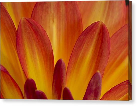 Orange Dahlia Petals Canvas Print