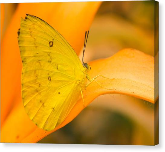 Orange Emigrant Butterfly Canvas Print
