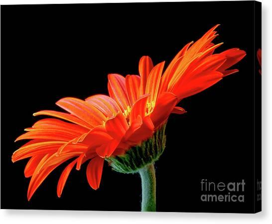 Orange Gerbera On Black Canvas Print