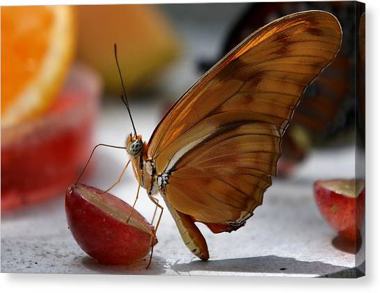 Orange Julia Butterfly Canvas Print
