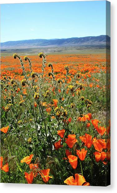 Poppy Fields Canvas Print - Orange Poppies And Fiddleneck- Art By Linda Woods by Linda Woods
