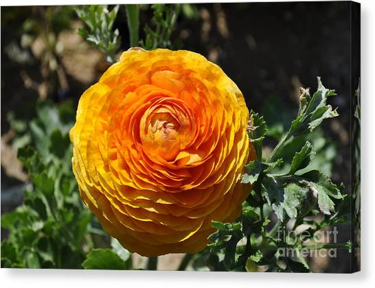 Orange Ranunculus Canvas Print
