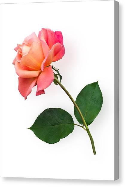 Orange Rose Specimen Canvas Print
