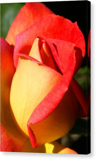 Orange Rosebud Canvas Print by PIXELS  XPOSED Ralph A Ledergerber Photography