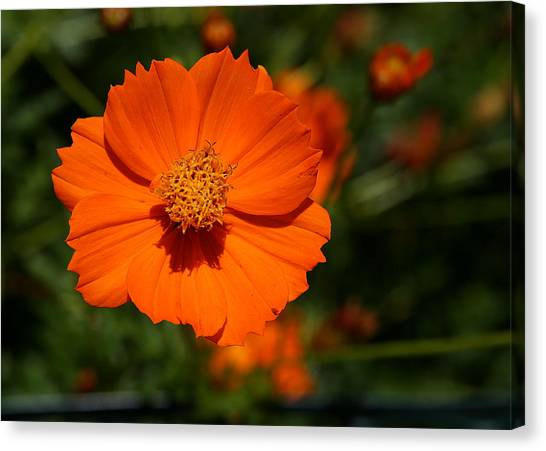 Orange Sulfur Cosmos Flower Canvas Print