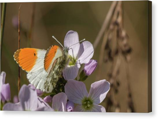 Orange Tip On Lady's Mantle Canvas Print