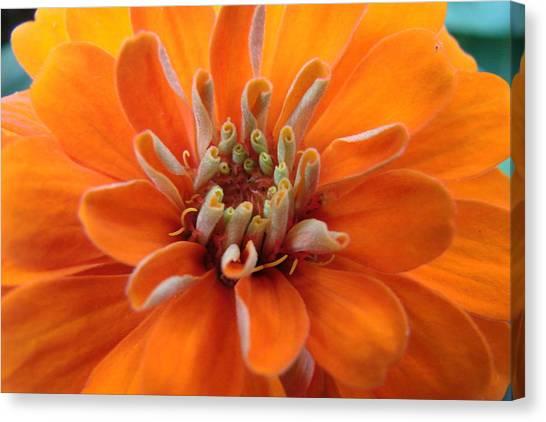 Orange Zinna Canvas Print