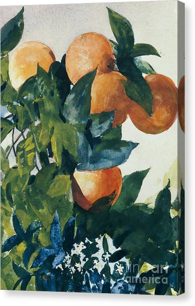 Fruit Trees Canvas Print - Oranges On A Branch by Winslow Homer