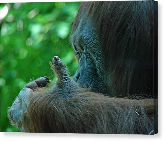 Orangutan 1 Canvas Print