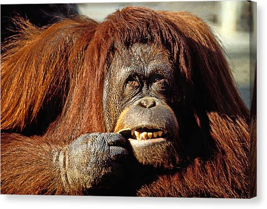 Orangutan Canvas Print - Orangutan  by Garry Gay