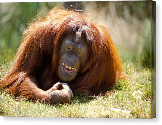 Orangutan Canvas Print - Orangutan In The Grass by Garry Gay