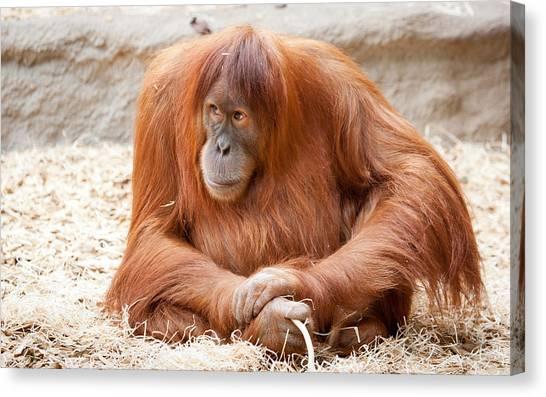 Orangutans Canvas Print - Orangutan by Mariel Mcmeeking