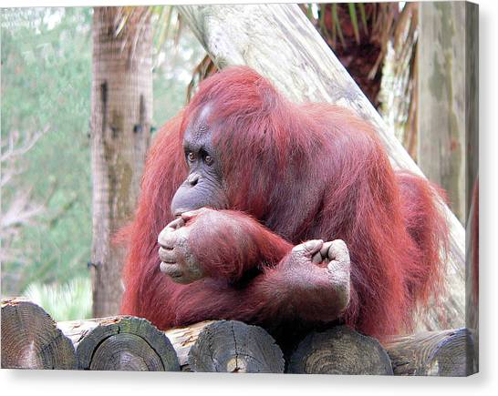 Orangutang Contemplating Canvas Print