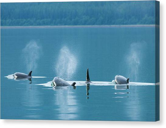 Tongass National Forest Canvas Print - Orca Family Swimming by Brenda Tharp