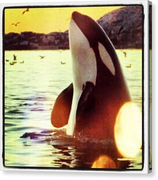 Orcas Canvas Print - #orca #killerwhale #socute #peaceful by Katie Keuning