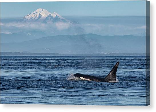 Orca Male With Mt Baker Canvas Print