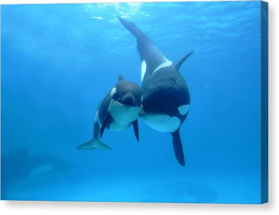 Orcas Canvas Print - Orca Orcinus Orca Mother And Newborn by Hiroya Minakuchi
