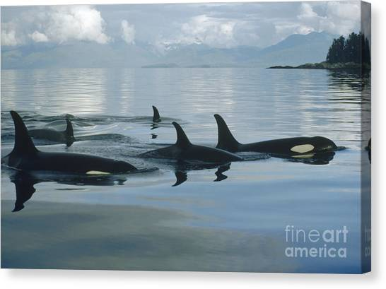 British Columbia Canvas Print - Orca Pod Johnstone Strait Canada by Flip Nicklin