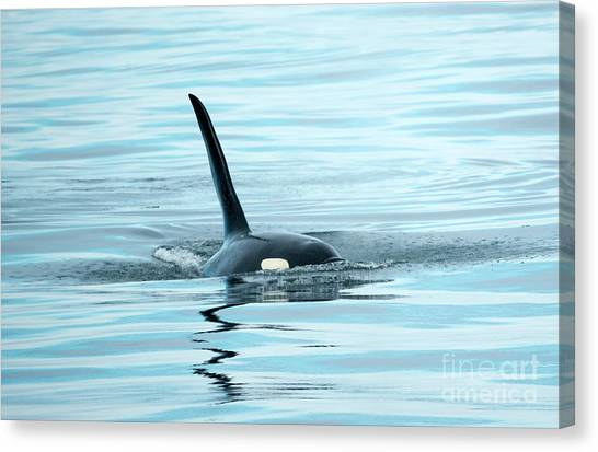 Orcas Canvas Print - Orca Reflections by Mike Dawson