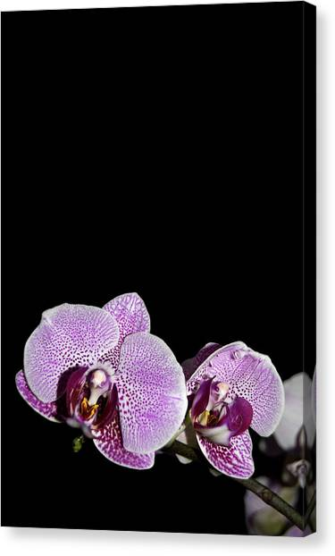 Orchid Blooms Canvas Print