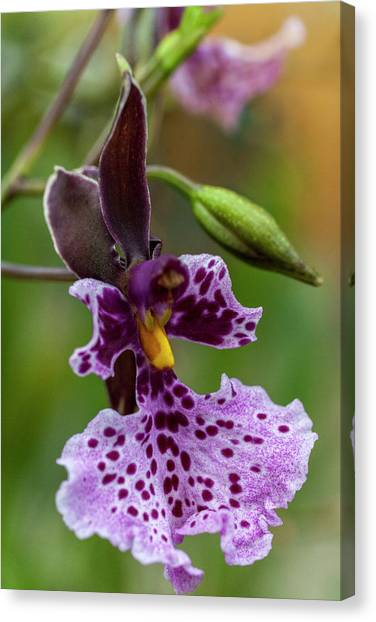 Canvas Print featuring the photograph Orchid - Caucaea Rhodosticta by Heiko Koehrer-Wagner