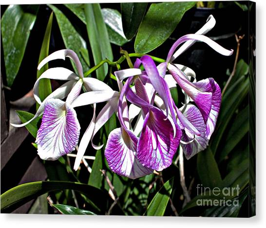 Orchid Cluster Canvas Print by Robert Sander