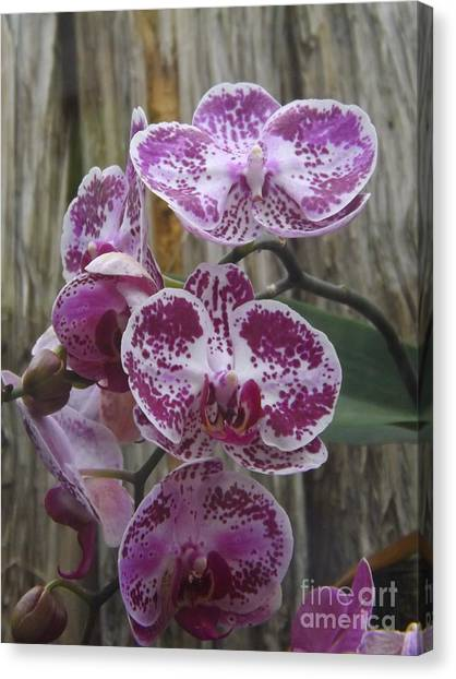 Phalenopsis Canvas Print - Orchid With Purple Patches by Lingfai Leung