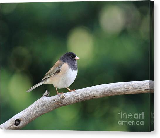 Oregon Junco Canvas Print by Wingsdomain Art and Photography