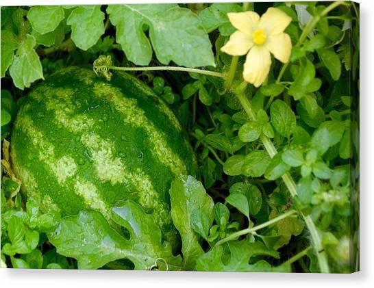 Organic Watermelon Canvas Print
