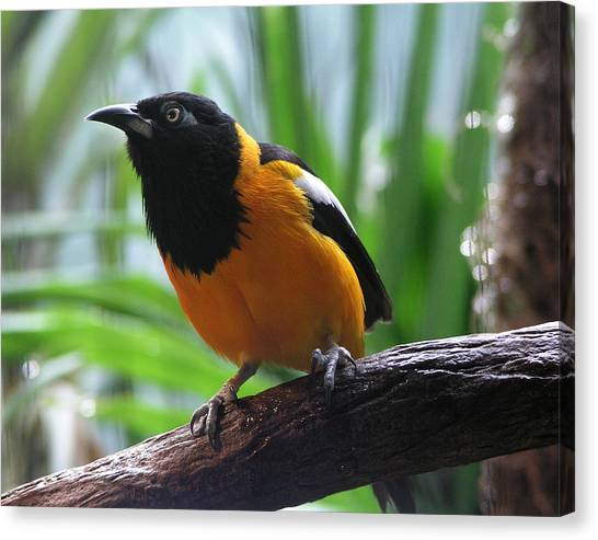 Oriole  Canvas Print by Helaine Cummins
