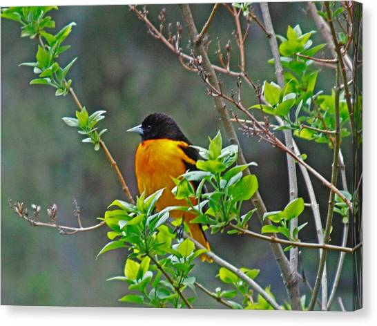 Oriole On The Lilac Canvas Print