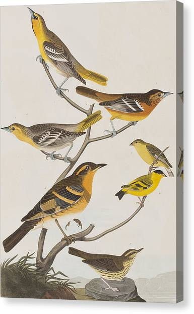 Orioles Canvas Print - Orioles Thrushes And Goldfinches by John James Audubon